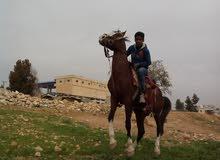 حصان نخب للبيع
