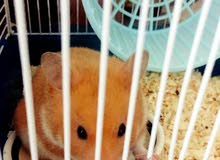 Hamster for sale with cage and dust 0nly 50sr