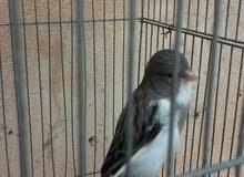 طير كنارى