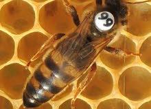 بيع ملكات النحل ملقحة