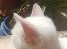 قطه انغورا تركي