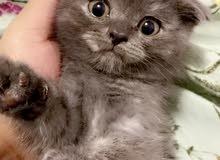 kitten Scottish