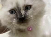 قطه هاملايا
