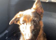 German shepherd puppy 2 month old vaccinated microchipped.very friendly