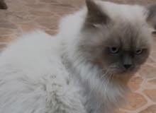 قط هملايا ملكي