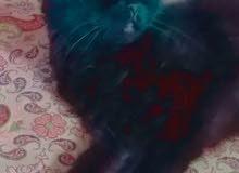 سلام عليكم قطط صغار للبيع اقرو الوصف