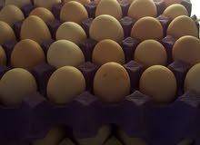 بيض عماني طازج يتوفر شبه يومي البيع بالحجز للاسبقيه