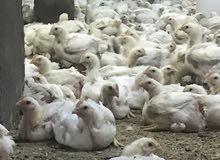 دجاج طازج للذبح