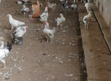 دجاج فرنسي كولمبي منتج مع فقاسه