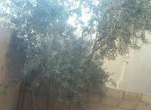 شجرة زيتون مثمرة بحالة ممتازة