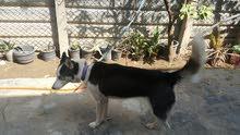 كلب هاسكي نثية