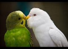 مروض طيور الزينه