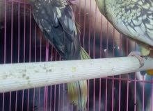 طيور كوكتيل مزاويج نثية وفحل مع القفص