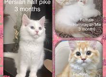 3 قطط شيرازي هاف بيكي