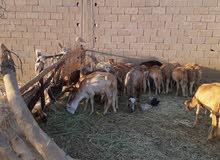 ذكور سودانيات للبيع 500دينار كاش