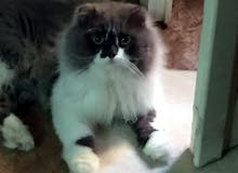 ذكر هيمالايا اصلا بيور 100٪ للبيع عمره سنه ونصف القط يحب اللعب  جدا ونسله ممتاز