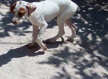 كلبه للبيع صيد عمر خمس شهور