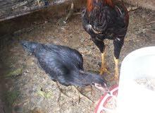 للبيع 2 دجاجات هراتية