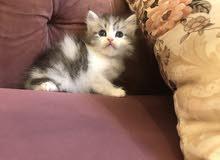 قطط شيرازي للبيع صغيرة
