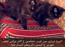 بيع قطط مون فيس