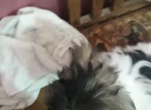 كلب ذكر عمرة شهرين قزم يخبل ونضيف غراضه كامله قفل 250