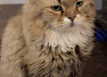قطه للتبني Cat for adoption