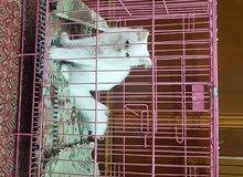 قطة شيرازي عمرها 3 اشهر ونص اعيونهاا زرك  وياها قفصها