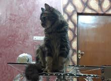 قطه نوع سيبيري (للتزاوج مو للتبرع)