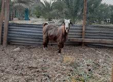 اغنام عمانيه
