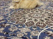 قطه منتجه شيرازي