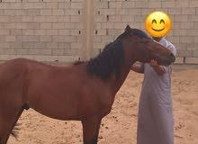 حصان للصغار (بوني للبيع)