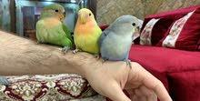 للبيع طيور لاف بيرد
