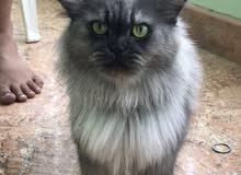 قطة شيرازية حامل للبيع