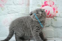 Scottish fold blue and bsh kitten available in dubai by german breeder