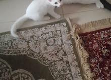 قطط ذكور عدد2