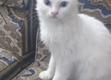 قطه شيرازي مدربة السعر 125
