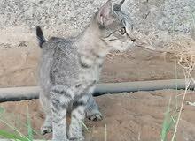 قطط تهجين شيرازي