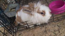 bunny pure breed