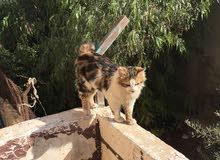 قط وقطه للبيع