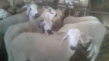 بيع وشراء في خروف