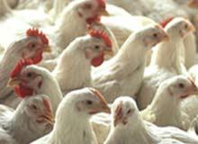دجاج ابيض للبيع نظيف من غير اضافة اي مواد كيماوية او هرمونات