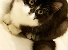 قطة شيرازية للبيع مع مستلزماتها