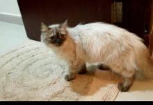 قطه هيمالايا عمر سنه ونصف عيون زرقاء  حامل نظيفه وصحيه مع جواز وكل التطعيمات