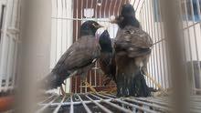 طيور الياسمينا