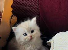 قطط شيرازي الي عنده قط بحدود 500 يتواصل معي ويكون نوعها كويس