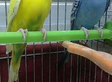 طيور للبيع ( حبات ، جواز ، كوم )