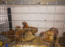 دجاج براهمي اعمار مختلفه للبيع لون ابيض صافي و دجاج مصوف اصفر على وجه شغل
