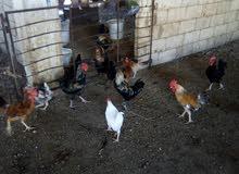 دجاج بلدي لبيع الجاجه 5دنانير