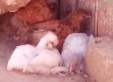 انواع مختلفة من الدجاج البراهمة و لوربنكتن