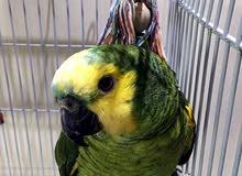 امازون يلو ناب بلو فرونت متكلم ولعوب واليف * Friendly Blue Fronted Amazon Parrot